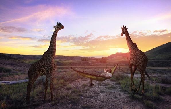 Picture stay, hammock, giraffes
