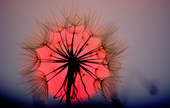 Picture flower, the sun, macro, sunset, dandelion, blade of grass