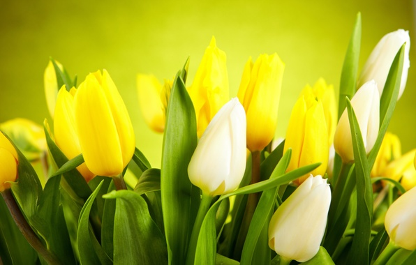 Picture leaves, flowers, yellow, tulips, white, white, buds, yellow, flowers, leaves, tulips, buds