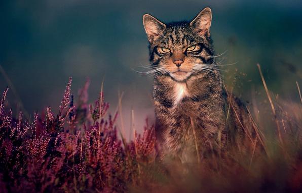 Picture grass, nature, wildcat, wild cat