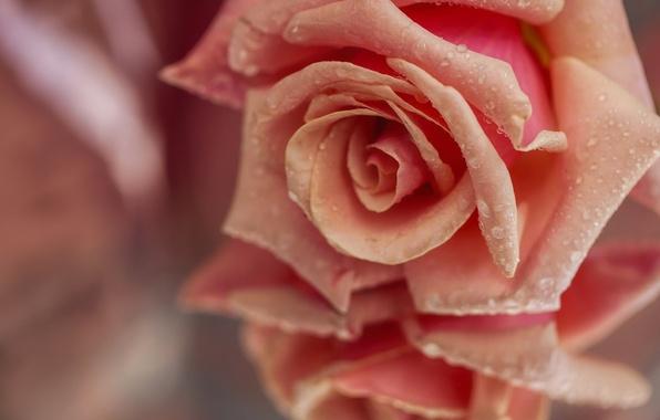 Picture drops, macro, reflection, rose, petals, Bud