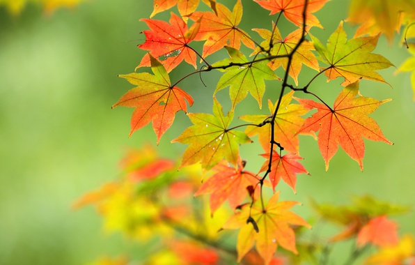 Picture autumn, leaves, branch, maple, bokeh