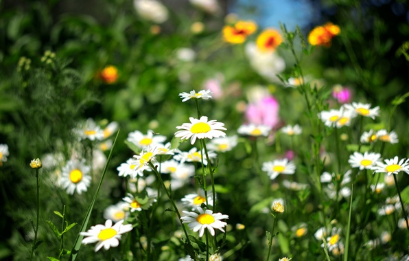 Picture greens, field, summer, grass, flowers, Wallpaper, chamomile