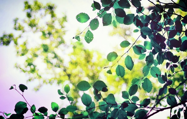 Picture leaves, macro, trees, green, background, tree, green, widescreen, Wallpaper, foliage, blur, leaf, wallpaper, form, leaf, …