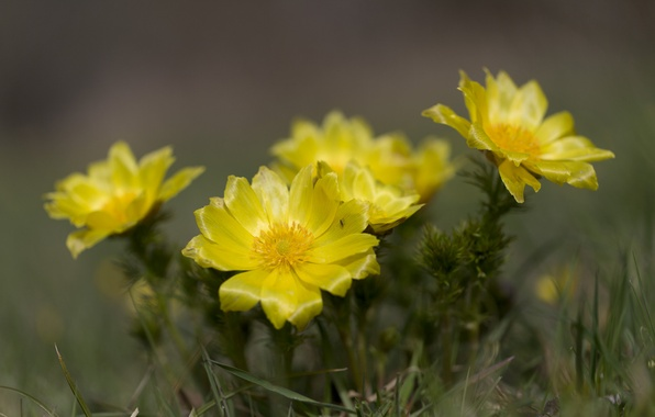Picture flowers, yellow, flowering cactus