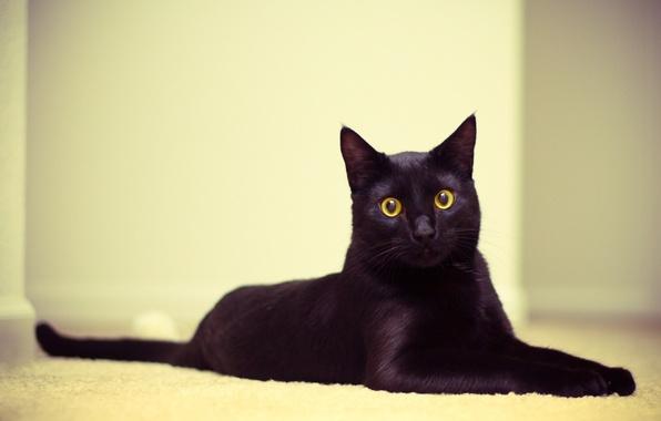 Picture cat, eyes, cat, Wallpaper, black, lies, looks, Kote, 2560x1600