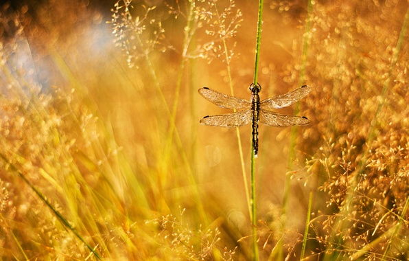 Picture grass, drops, Rosa, glare, dragonfly, a blade of grass, panicles