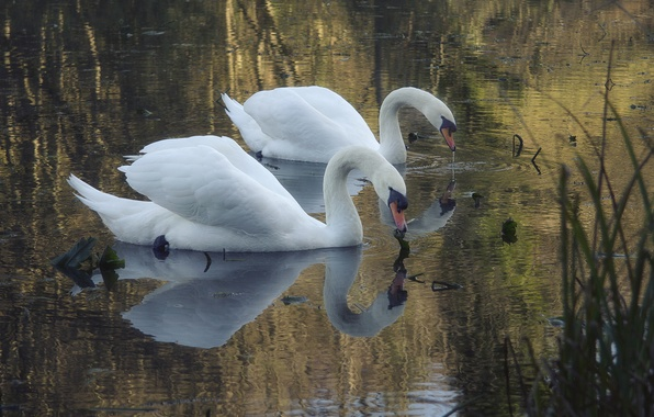 Picture lake, pond, white, swans, two