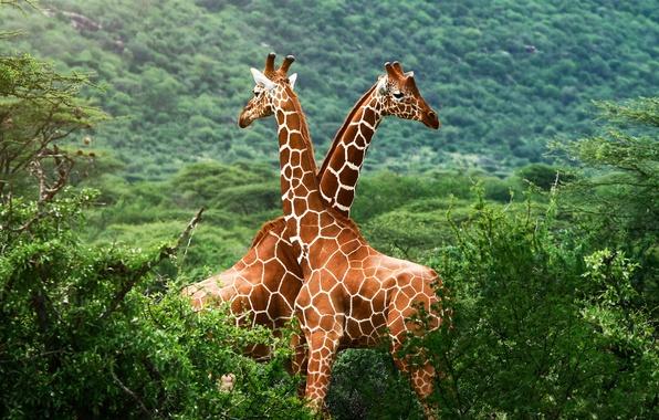 Picture greens, giraffes, Savannah, Africa
