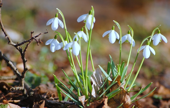 Picture leaves, macro, flowers, foliage, branch, spring, snowdrops, dry, primroses