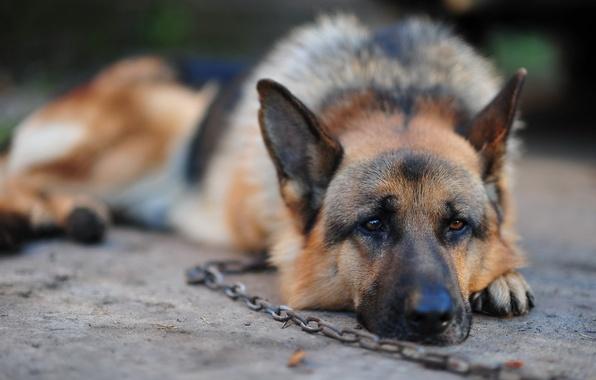 Picture dog, chain, shepherd