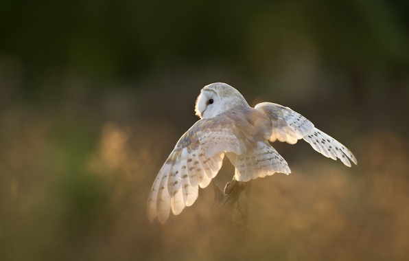 Picture owl, bird, wings, white