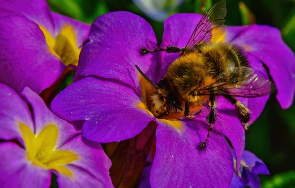Picture macro, flowers, insect, bumblebee, Primula