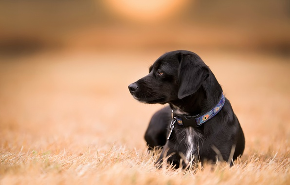 Picture field, look, dog, collar