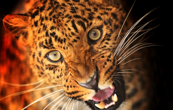 Picture look, face, animal, predator, leopard, fangs, black background, the suit