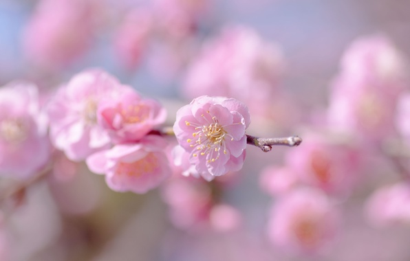 Picture flower, the sky, macro, flowers, sprig, pink, tenderness, focus, spring, blur, Sakura, flowering