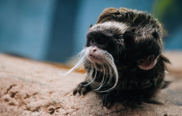 Picture background, monkey, cub, Emperor Tamarin