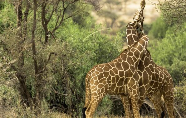 Picture love, giraffes, a couple, weave, Kenya, neck, Kenya, Samburu national reserve, Samburu National Reserve