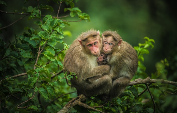 Picture branches, monkey, cub, monkeys, family, Trinity