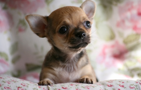 Picture dog, face, Chihuahua, doggie