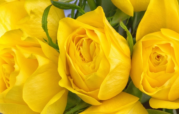 Picture macro, roses, buds, yellow roses