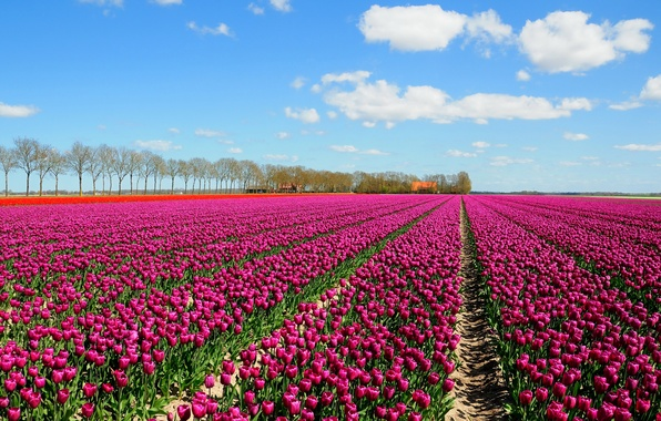 Picture field, the sky, clouds, trees, tulips, houses, a lot
