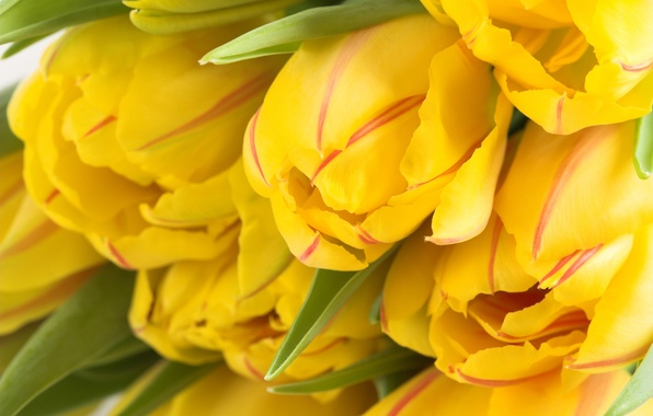 Picture flowers, yellow, Bud, tulips, a lot, spring Wallpaper