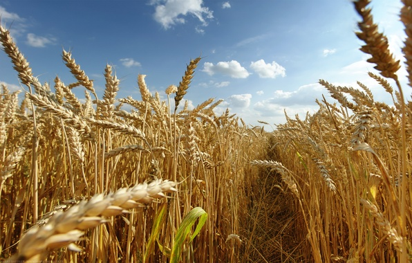 Picture field, the sun, Summer, spikelets, crops