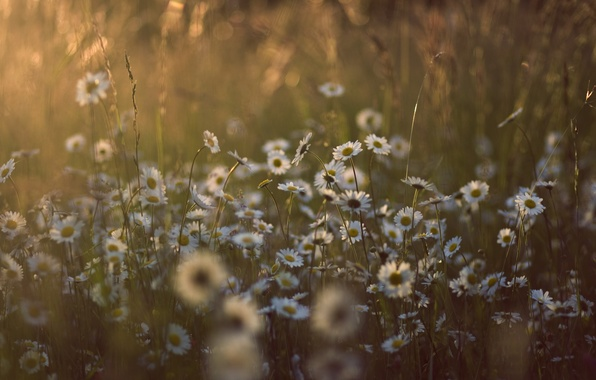 Picture summer, grass, the sun, light, flowers, nature, glade, chamomile