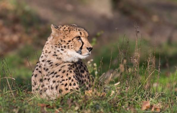Picture grass, portrait, predator, Cheetah, wild cat
