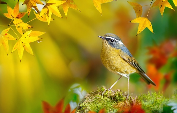 Picture autumn, leaves, macro, branches, bird, moss, yellow, Taiwan, bokeh, FuYi Chen, White-browed Bush-Robin, Tarsiger indicus
