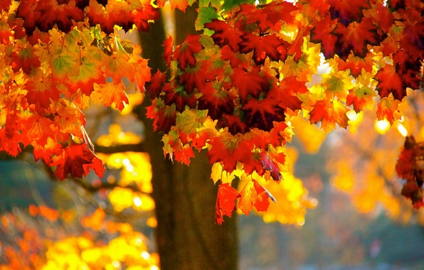 Picture autumn, leaves, tree, maple