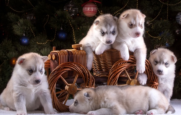 Picture puppies, New year, wagon, tree, husky, five