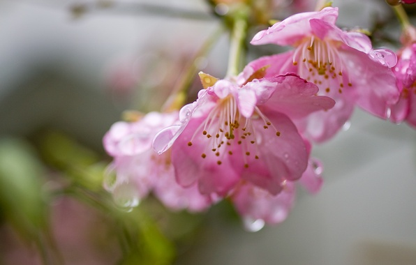 Picture water, drops, flowers, freshness, cherry, tenderness, branch, spring, petals, Sakura, pink, flowering