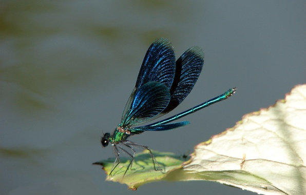 Picture WINGS, INSECT, PAINTING, DRAGONFLY
