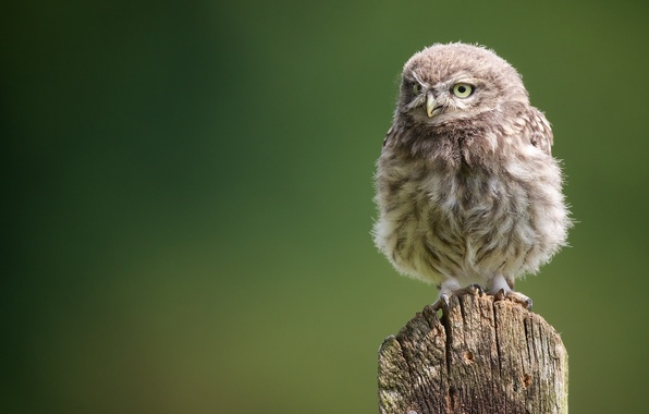Picture owl, chick, owlet, owl