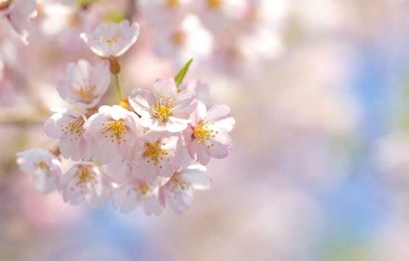 Picture the sky, flowers, cherry, branch, spring, petals, Sakura, pink, flowering