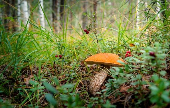 Picture forest, grass, mushroom, boletus