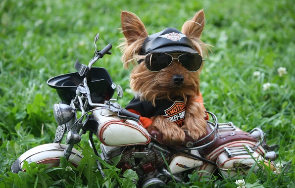 Picture grass, dog, humor, glasses, t-shirt, motorcycle, cap, Harley-Davidson, Yorkshire Terrier, sunglasses, motorcycle helmet