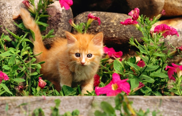 Picture cat, grass, cat, flowers, stones, kitty, pussy, red, kitty, cat, Kote