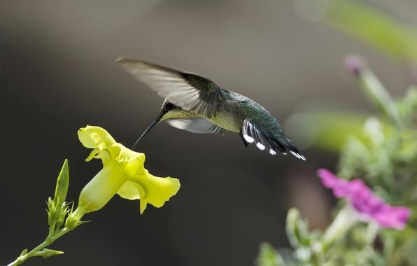 Picture flowers, yellow, nature, nectar, pink, bird, Hummingbird