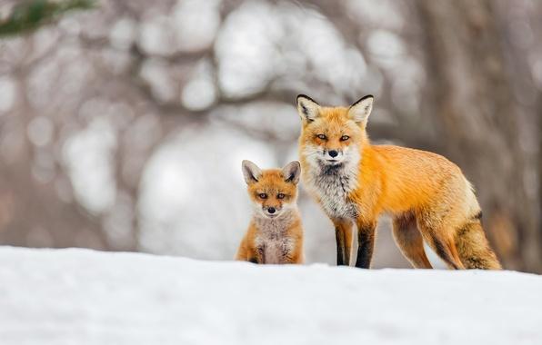 Picture winter, snow, background, Fox, Fox, bokeh, Fox