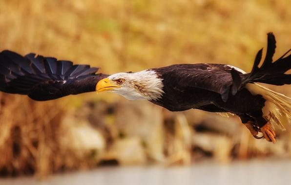 Picture bird, wings, predator, flight, Bald eagle