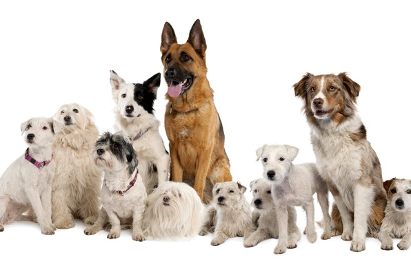Picture dogs, white background, shepherd, breed