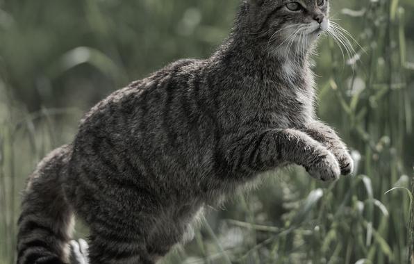 Picture cat, cat, wild cat, forest cat