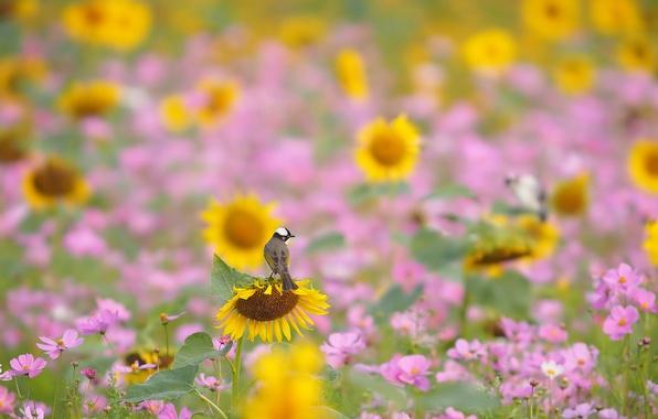 Picture field, flowers, bird, sunflower, meadow, kosmeya
