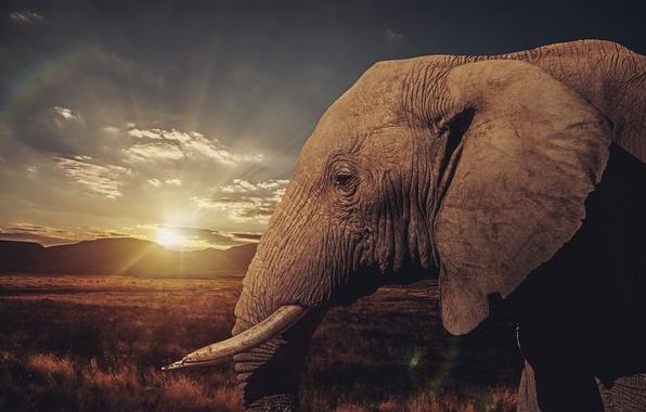 Picture sunset, elephant, Savannah, tusks
