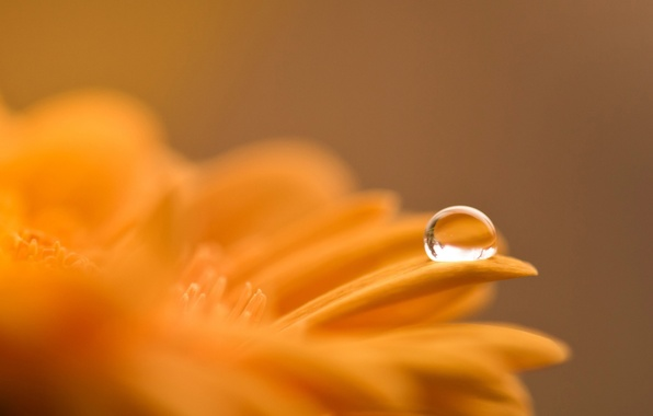 Picture flower, macro, orange, Rosa, drop, gerbera