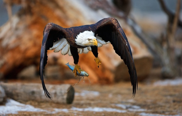 Picture bird, fish, eagle, mining, catch