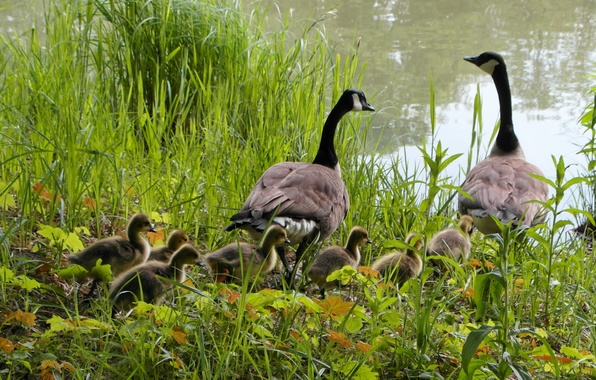 Picture grass, pond, the reeds, chickens, geese